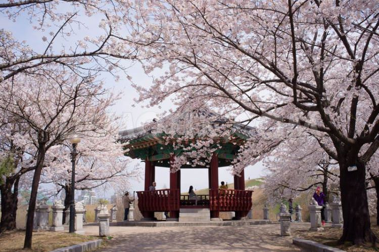 1366355705-south-koreans-enjoy-cherry-blossoms-in-seoul_1972582