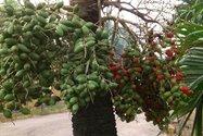 میوه پینانگ