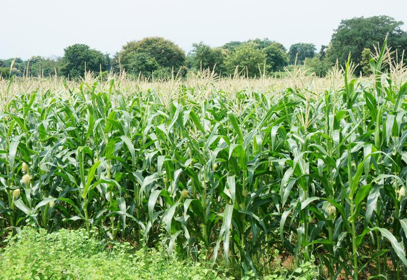 مزرعه ذرت اندونزی